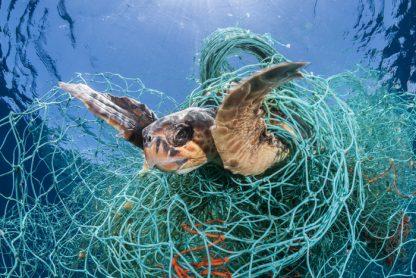 Sea turtle caught in plastic netting.