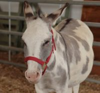 Farley the donkey at the Salt Spring Fall Fair in 2015.